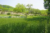 韩国民俗村庭院和麦田