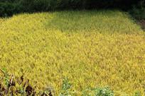 一大块稻谷