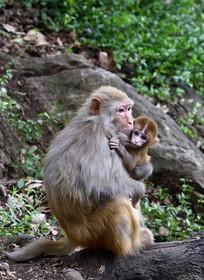 抱着猴宝宝的猴妈妈