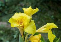 带露珠的黄色的花