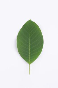 白色背景上的新鲜核桃树树叶