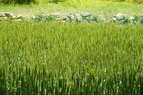 东北地区乡村即将丰收的麦田