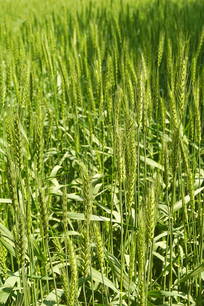 麦田里麦子及麦穗特写