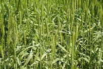 麦子及麦穗特写
