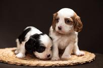 两只小奶狗