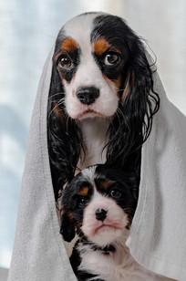洗完澡的小奶狗与狗妈妈