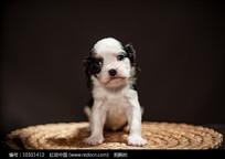 一只小奶狗