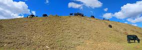 阿坝若尔盖大草原牧场和牦牛群