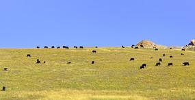 四川省阿坝若尔盖大草原牧场和牦牛群
