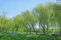 北京龙潭西湖公园荷塘柳树