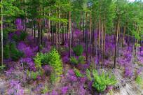 大兴安岭原始森林杜鹃花盛开