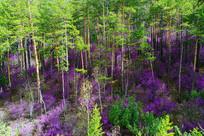 杜鹃花怒放的森林