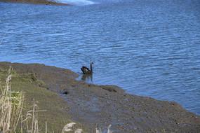 蓝色海水黑天鹅
