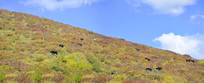 四川若尔盖草原和秋天的牦牛群