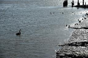 游水的黑天鹅