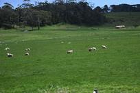 澳洲羊吃草