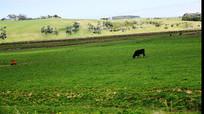 吃草的一头牛