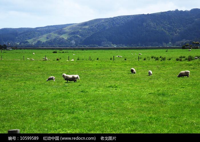 肥羊吃草图片