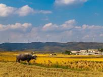 高坡云顶草原的金黄稻穗