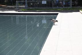 悉尼海德公园水池和长嘴白鹭