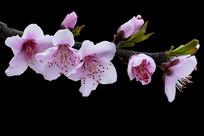粉红色的桃花特写