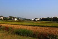 乡村的稻谷田