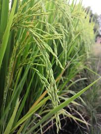 稻田里的青稻穗