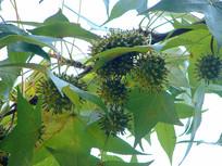 枫香树结满果实