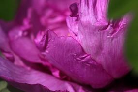 粉紫色牡丹花花瓣特写
