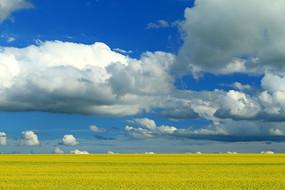呼伦贝尔油菜花开的风景