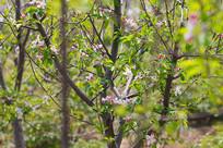 苹果树上的花骨朵