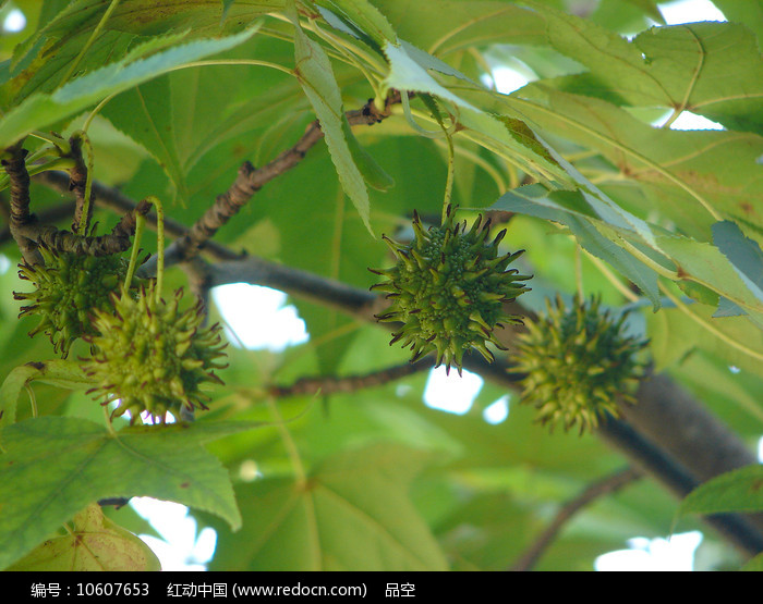下垂的枫香树蒴果图片