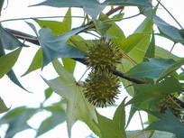 药用植物枫香树