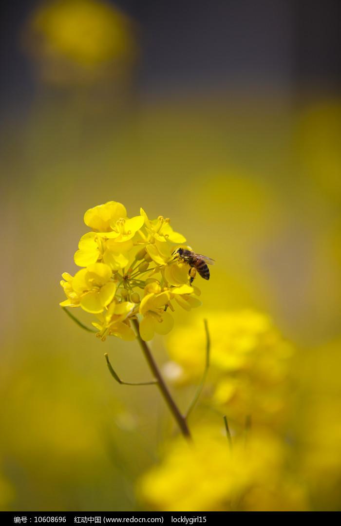 油菜花和小蜜蜂