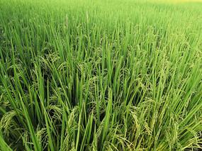 种满水稻的农田