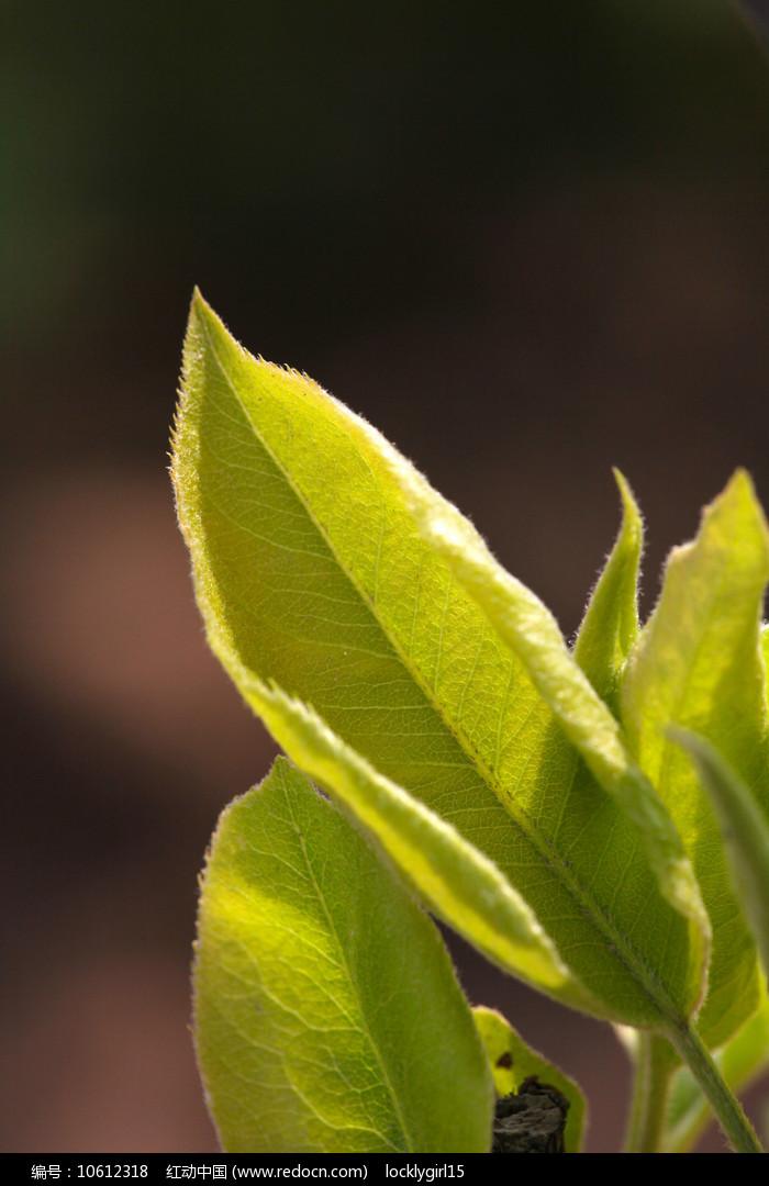 黄绿色叶子素材图片