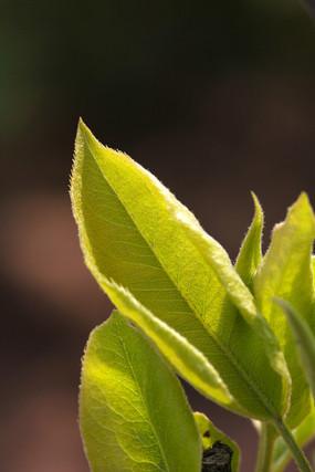 黄绿色叶子素材