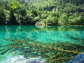 九寨沟孔雀海及湖底的钙化木