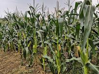 绿色无公害玉米种植