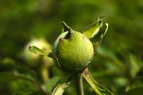 牡丹花花骨朵