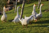 草丛中的鹅