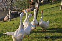草坪上的白鹅