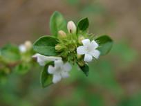 六月雪白色花朵和绿色枝叶