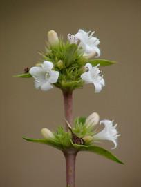 药用植物六月雪白色花朵特写