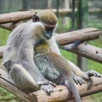 大猴子怀抱小猴子