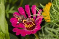 在紫菊上采蜜的蜂鸟鹰蛾背影