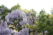 一束光打在紫藤花上