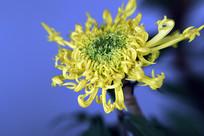 金龙爪菊花