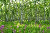 原野花伴白桦林