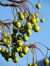 成熟的苦楝树果实